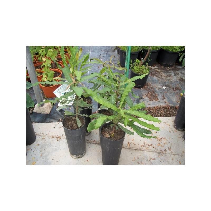 planta de macadamia de semilla en maceta de 20x40 - viveros alberola