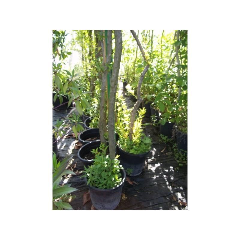 granado de xativa en maceta de 25 cm-tronco 6/8 - viveros alberola