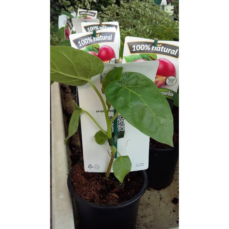 planta tomate arbol/tamarillo en maceta de 17 cm - viveros alberola